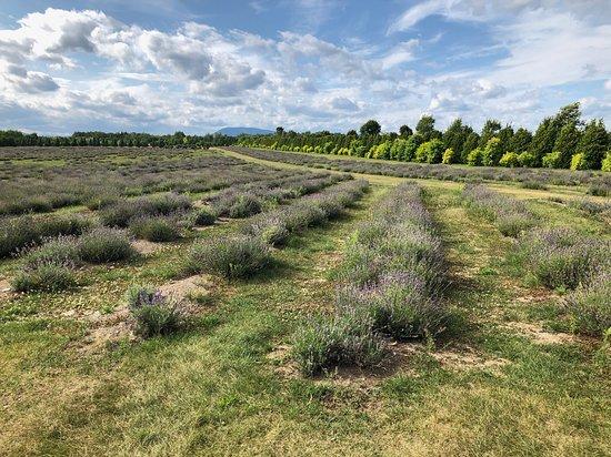 Chemin Royal (Royal Road): lavender
