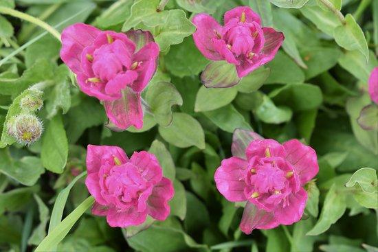 Rosy paintbrush