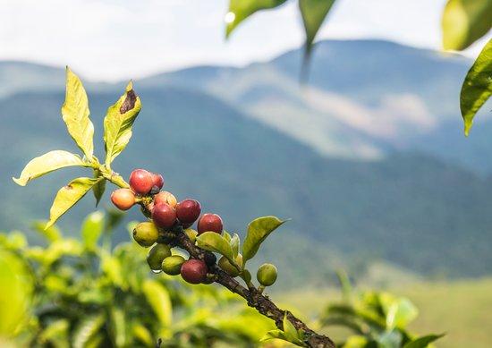 Caldas, Colombia: Los paisajes de nuestro cultivo y nuestro hermosos granos de café.