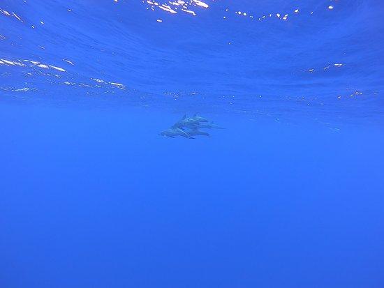 Rencontre avec les dauphins steno / Moorea / baleines / dauphins / whale / dolphins