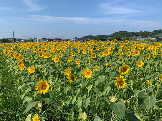 Hayano Sunflower field