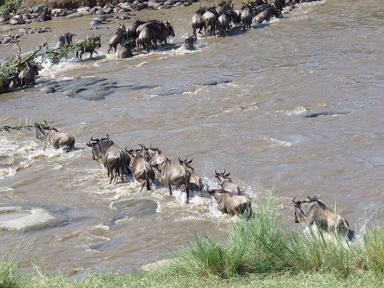 wildebeest river crossing at Mara river