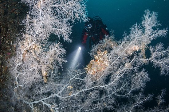 Descend Scuba Diving - Milford Sound: Black coral trees (white in appearance) can reach up to 5 meters in height. Grant Thomas photography