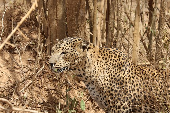 THE leopard at Yala National Park.
