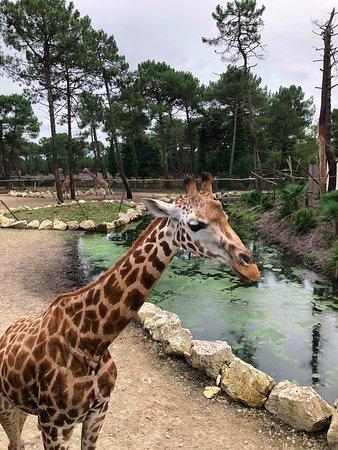 Girafe qui s'approche facilement
