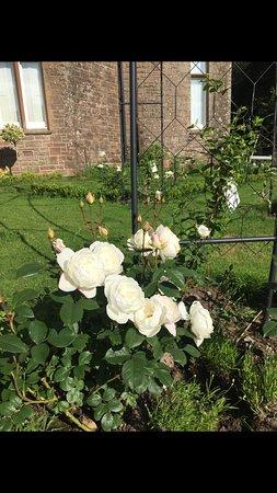 Crossmichael, UK: David Austin desdemona roses in the formal garden 