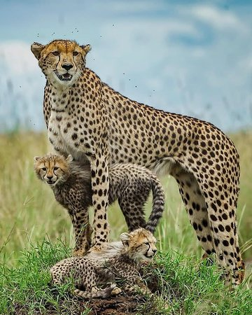 Cheetahs prefer to stand on the temitarium and use them as a vantage to spot their preys and enemies.  Welcome to HFO Brothers Tours & Safaris Book with us through:info@hfobrothers.co Visit our website: www.hfobrothers.com