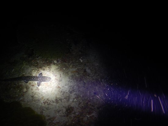 Coral cat shark (night dive)