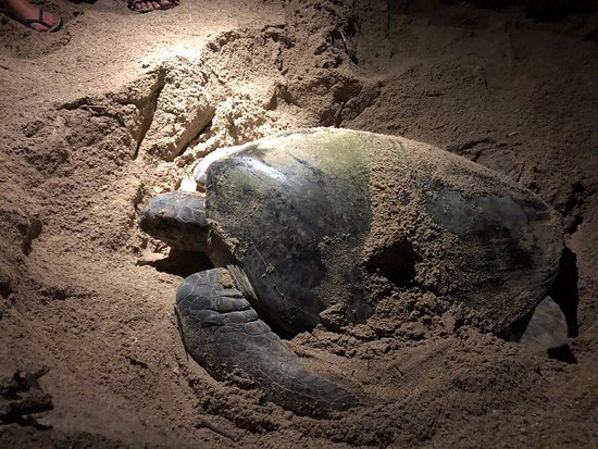 Mother turtle laying her eggs at night