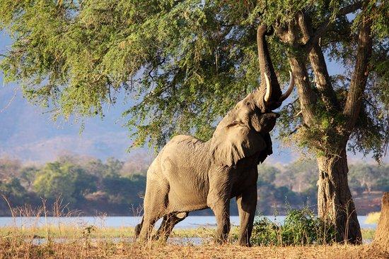Национальный парк Мана-Пулз, Зимбабве: A beautiful elephant bull, feeding on an anna tree at Mana Pools, Zimbabwe