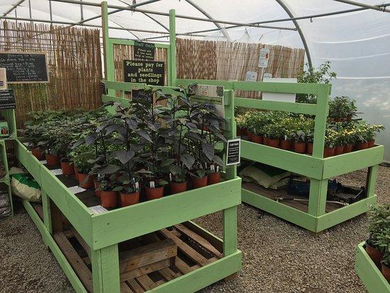 Chilli plants for sale