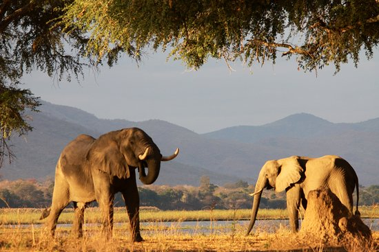 Национальный парк Мана-Пулз, Зимбабве: 2 beautiful elephants feeding on Acacia trees at Mana Pools.....