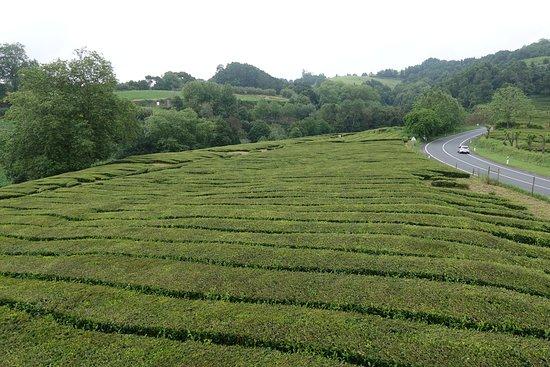 Plantacoes de Cha Gorreana