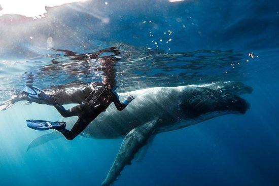 海洋野生生物遠征;クジラ、サメ、エイと一緒に泳ぐ半日ボートツアー