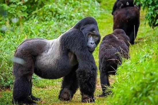 Bwindi难以穿越的国家公园的Gorrilla跟踪