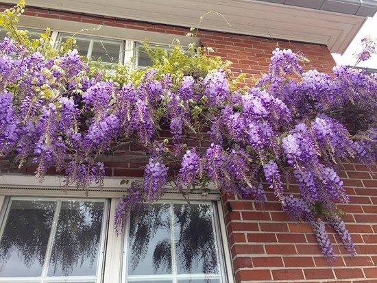 Kyoto: La glycine est fleurie en mai devant notre façade comme chaque année, ils sont beau n'est-ce pas?
