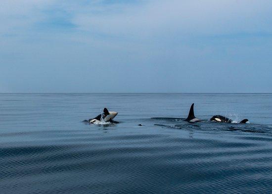 Kodiak Island, AK: Pod of Orcas feeding