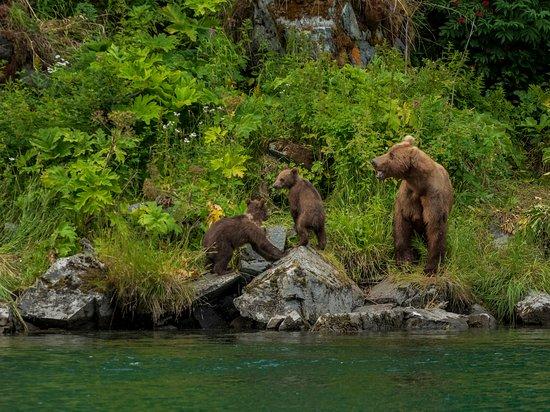 Kodiak Island, AK: Kodiak brown bears-sow and two cubs.