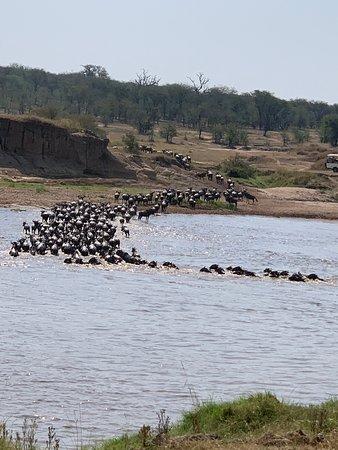 Widlebeest crossing