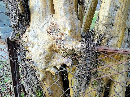 Old Cahawba Archaeological Park: new cemetery - tree growing through fence