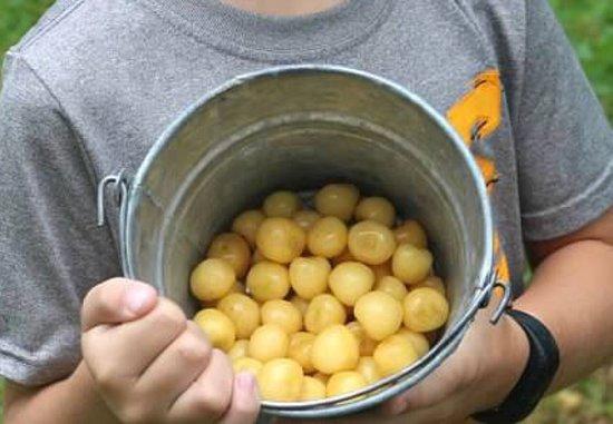 Rennie Orchards: Gold Cherries