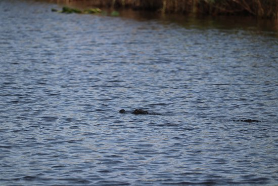 Deerfield Beach Airboat Rides: alligator