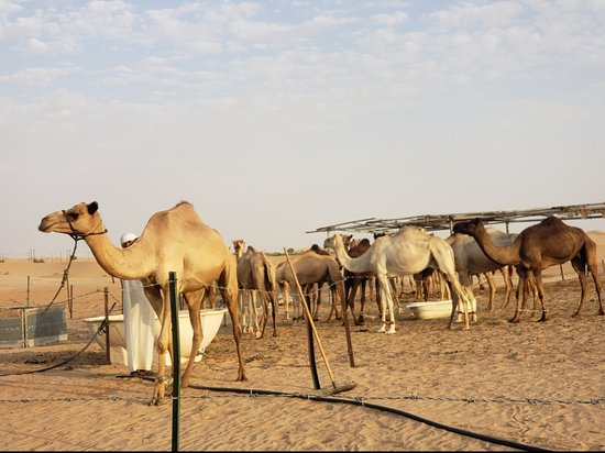 Evening Desert Safari with Dune Bashing, Camel Riding, BBQ Dinner: Camels
