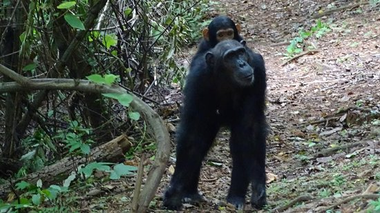 Gombe Stream National Park: Chimpanzee