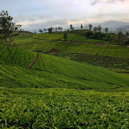 The Nilgiris District, Indie: The tea plantations of Tamilnadu make for breath- taking views. Gently rolling expanses of green tea shrubs along the sloping mountains of the Nilgiris are balm to the eyes. Picture perfect postcards, I call them.
