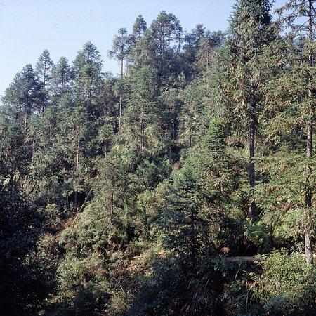 Long Sheng's Dragon Spine Rice Terraces: Kiefernwälder an entlegeneren Stellen