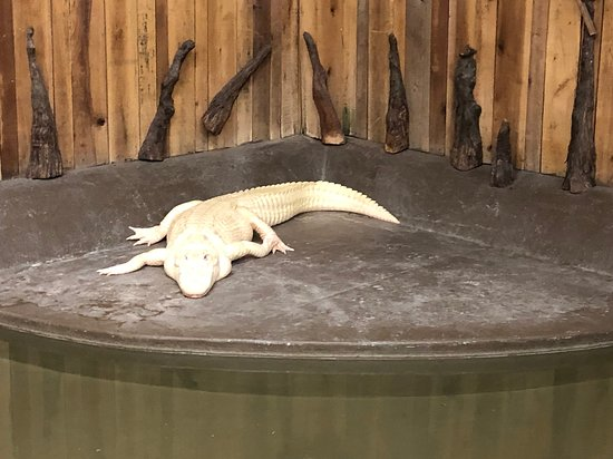 New Orleans Airboat Ride with Transportation: New Orleans Airboat Adventures - albino alligator in lodge