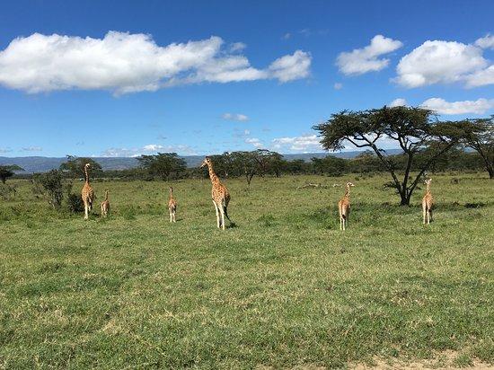 Full-Day Lake Nakuru National Park Private Tour from Nairobi: Giraffes