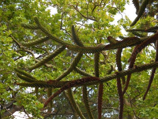 Араукария чилийская. Экскурсовод утверждает, ее соком индейцы мазали свои стрелы