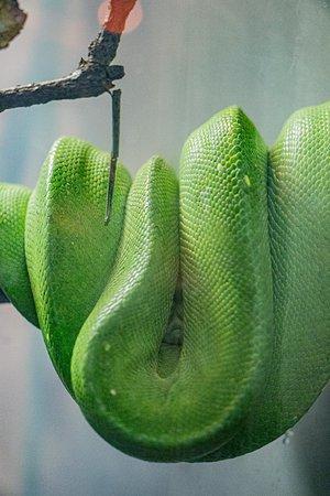 Lincoln Park Zoo: Green Tree Python (Morelia viridis)