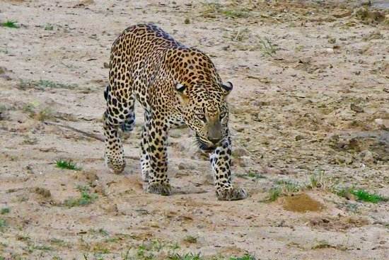 One of the leopards we saw at Yala.  It came up close to the 4WD.