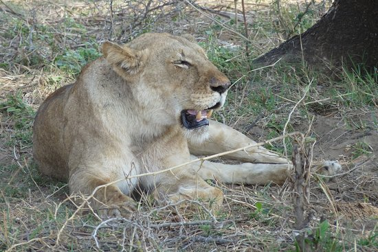 A lioness resting after a hunt