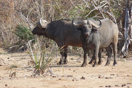 Buffalos!