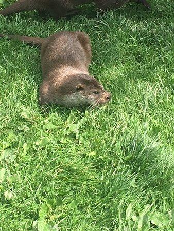 British Wildlife Centre: Otter