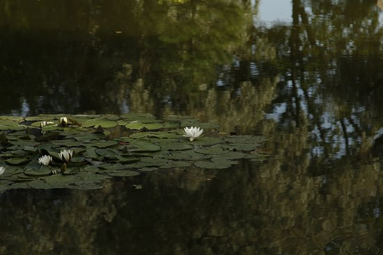 water lilies in the middle of the lake