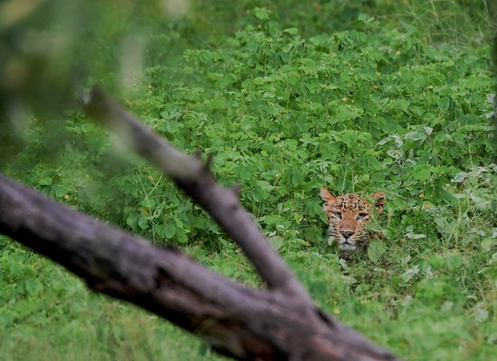 Leopard cruising through the Green Carpet in Jhalana Panther Safari August 2019