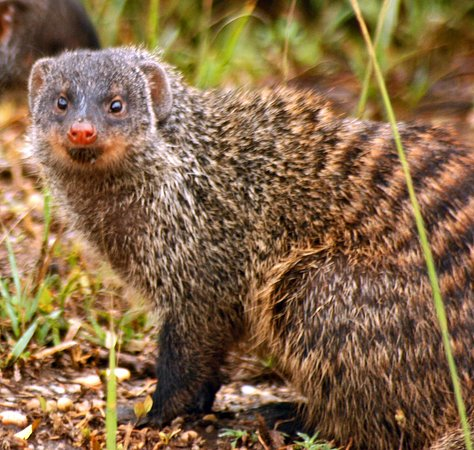 St Lucia, Νότια Αφρική: The Indian gray mongoose and others are well known for their ability to fight and kill venomous snakes, particularly cobras. They are adept at such tasks due to their agility, thick coats, and specialized acetylcholine receptors that render them resistant or immune to snake venom. How Fast is the Mongoose? Mongooses can reach a top speed of roughly 20 mph (32 kph).