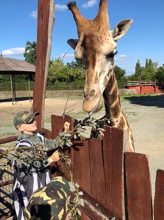 Dvur Kralove nad Labem, สาธารณรัฐเช็ก: feeding giraffes
