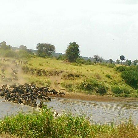 Serengetin kansallispuisto, Tansania: The great migration crossing mara river in northern Serengeti national park incredible experience