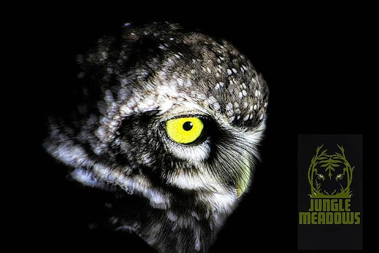 resident owlet