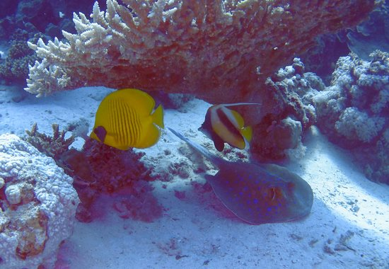 Colona Divers Marsa Alam: Masked Butterflyfish & Red Sea Bannerfish with Blue Spotted Ray beneath