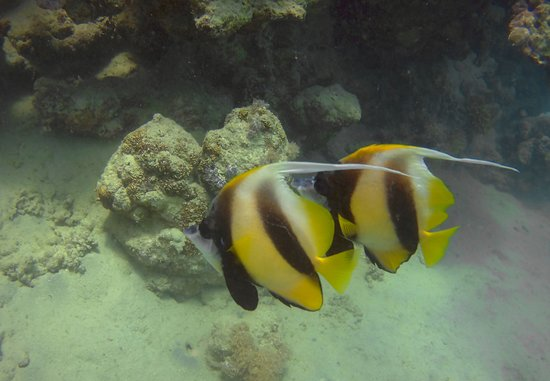 Colona Divers Marsa Alam: Red Sea Bannerfish