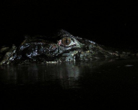 Limoncocha, Ecuador: Black caiman