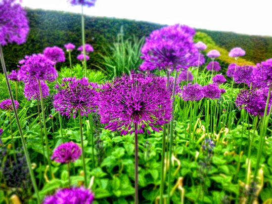 Plas Cadnant Hidden Gardens: Pretty alliums