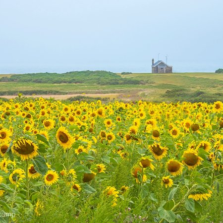 The beautiful sunflowers at Rhossili beach