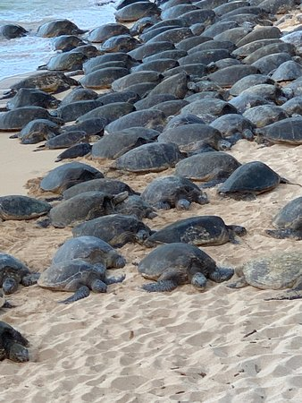 Maui's Green Sea Turtles clambering up on shore at sunset.